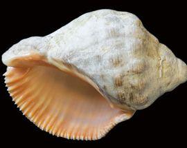 Adriatic Molluscs