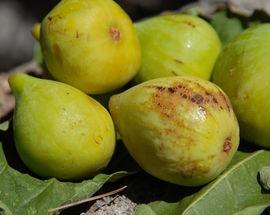 Fig Days