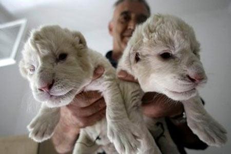 Belgrade's Creatures: White Lions